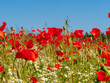 Close Up view to Red Poppy flowers with a field with a field at the background