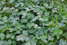 Clover (trifolium) In Lawn, Co...