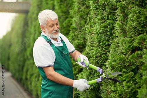 Senior gardener using scissors for bushes. Fototapeta