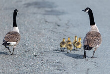 A Male And Female Canada Goose...