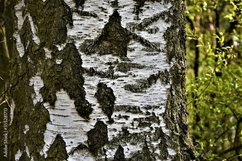 Kora drzewa brzozy  - 355281713