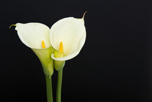 Two Blooming Calla Lilly Flowe...