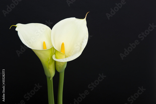 Leinwand Poster Two blooming calla lilly flowers on a black background with copy space