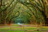 Fototapeta Sawanna - Oak Alley, Wormsloe Plantation, Savannah, Georgia, USA