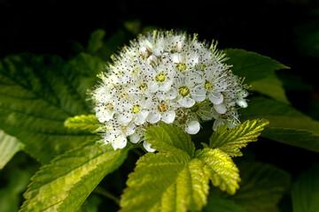Krzewuszka biały kwiat, krzew ogrodowy