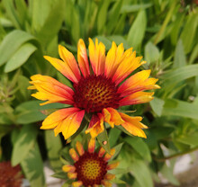 Gaillardia Pulchella Blossom In Winter In Sunny Morning
