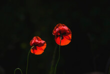 Two Red Poppy Flowers Lit By T...