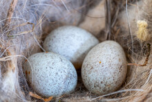 Close Up Of Robins Eggs In A N...