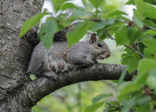 Female Eastern Gray Squirrel Laying On Tree Branch