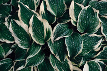Hosta Green Leaves With Raindr...