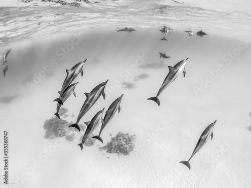 Fotografija school of cheerful spinner dolphins