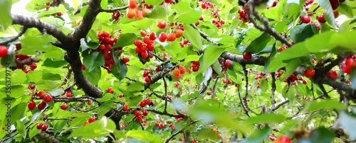 Fotografiet cherries attached to the branch of the cherry tree ready to be h