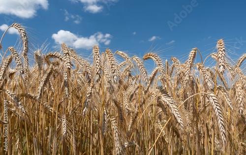 Fototapeta Reife braune Getreidepflanzen in Nahaufnahme gegen den blauen Himmel mit leichte