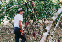 Farmer Old Man In Cocoa Plantation, Tending And Harvesting