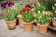 Display Of Tulips (Tulipa) In Flowerpots In A Wisley Gardens, England, UK