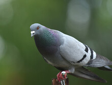 Pigeon Perched In The Garden