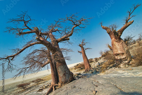 Baobab, Adansonia digitata, Kubu Island, White Sea of Salt, Lekhubu, Makgadikgad Canvas Print