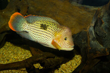 The Green Terror (Andinoacara Rivulatus, Syn. Aequidens Rivulatus), Is A Colorful Freshwater Fish In The Cichlid Family. The Fish Originates From The Pacific Side Of South America.