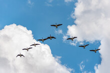 Migratory Birds, V Formation Canadian Geese