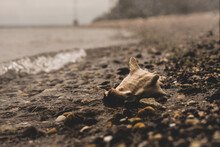 Desaturated Conch On Rocky Beach