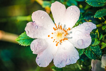 Macro Photo Of Cherokee Rose (...