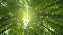 Bottom Up View Of Lush Green Foliage Of Trees With Afternoon Sun. Walking Through The Forest With Large Green Trees. Summer Background, UHD, 4K