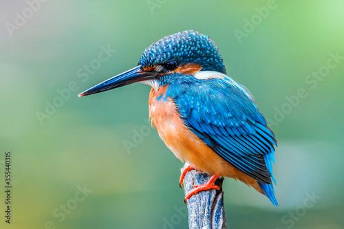 Papel de parede The Common Kingfisher (Alcedo atthis),Eurasian Kingfisher or river Kingfisher