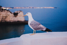 Gull On A Cliff In The Portugu...