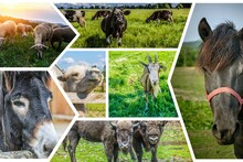 Photo Collage Herbivorous Animals: Sheep, Cow, Donkey, Camel, Goat, Bison, Horses.