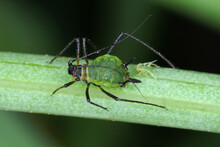 Aphid On A Leaf With A Freshly Born Aphid And Visible Red Eyes Of Young Aphids Through The Abdomen.