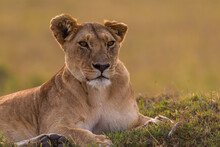 Lioness Resting On The Flour