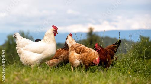 Obraz Freilaufende glückliche Hühner und Hähne, Freilandhaltung auf dem Bio Bauernhof - verschiedene Gefiederfarben  - fototapety do salonu