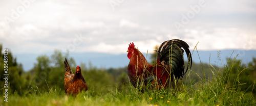 Obraz Freilaufende glückliche Hühner und Hähne, Freilandhaltung auf dem Bio Bauernhof  - fototapety do salonu