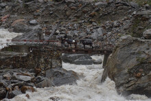 A Villager Crossing The Old Iron Bridge With His Mules/horses Over The Roaring Pushpawati River Enroute Valley Of Flowers National Park. A Monsoon Trek To Unesco World Heritage Site,Uttarakhand, India