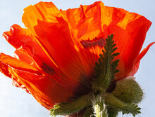 Close-up Of A Bright Orange Oriental Poppy Looking Up Toward The Base.