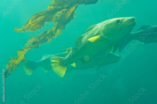 Cod fish and seaweed under water, Norway Canvas Print