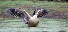 Canada Goose Stretching Its Wi...