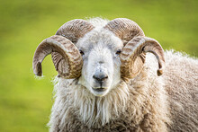 Portrait Of A Ram With Big Horns