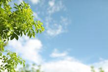 Orange Jasmine Light Green Leaves Tree With Bright Soft Blue Sky Background