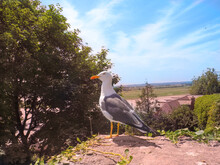 Lovely Small Gull Overlooking ...