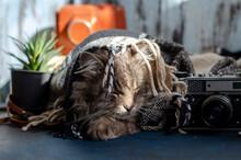 Gray Cat Lies Under A Plaid Bl...