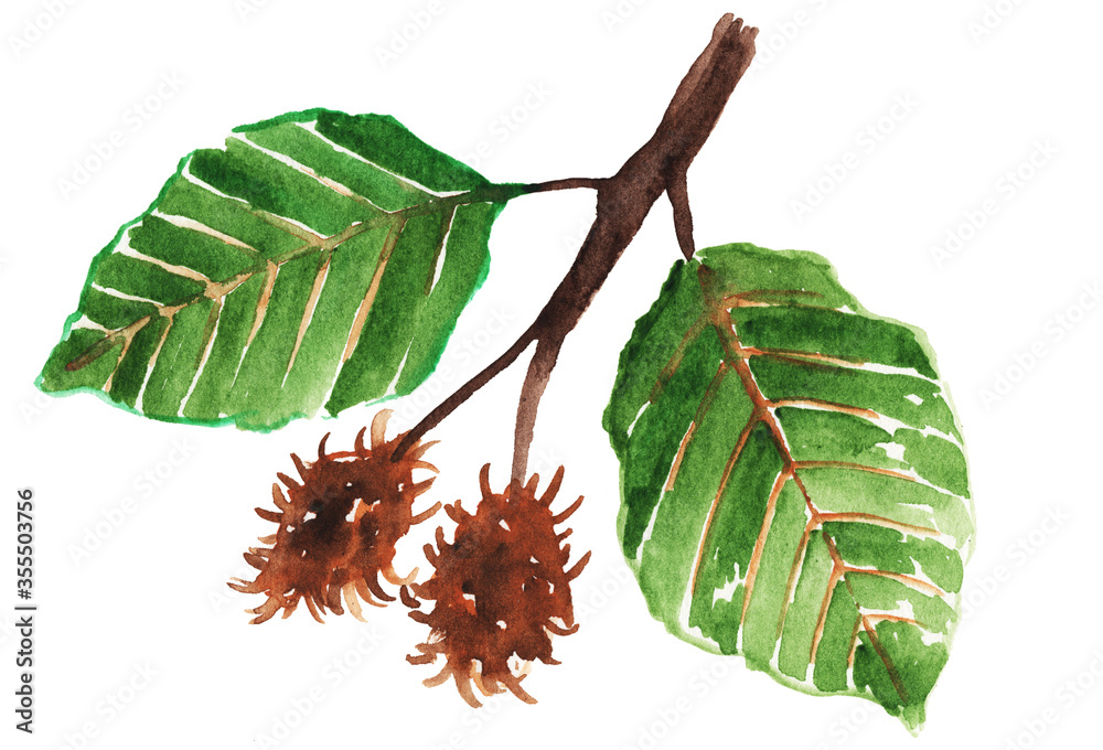 Fototapeta Watercolor beech branch with leaves