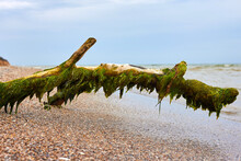 Snag Covered With Seaweed On T...