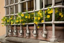 Yellow Petunia Blooms On Trell...