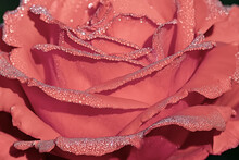 Large Red Rose Petals Covered With Morning Dew