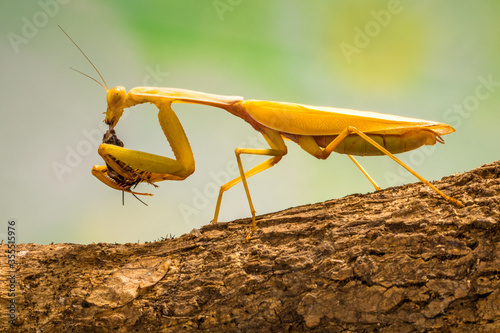 green praying mantis in branch Canvas Print