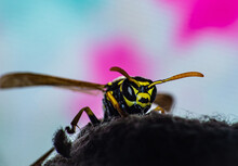 A Wasp Sits On A Cotton Sock. ...
