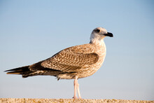 Young Sea Gull Standing Close Up