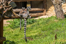 Ring-tailed Lemur With A Cub S...