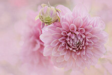 Closeup Of Dreamy Pink Dahlia Flowers In Soft Focus
